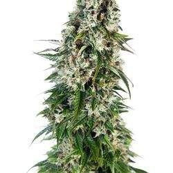 Big Bud Feminized (Sensi Seeds)