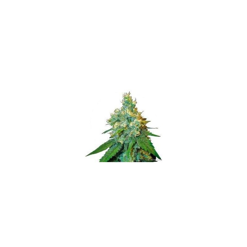 Jack Herer Feminized (Sensi Seeds)