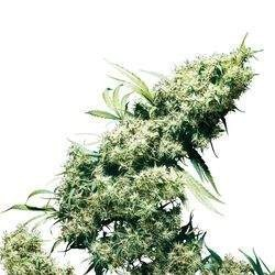 Jamaican Pearl Feminizowane (Sensi Seeds)