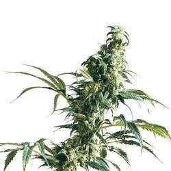 Mexican Sativa Feminized (Sensi Seeds)