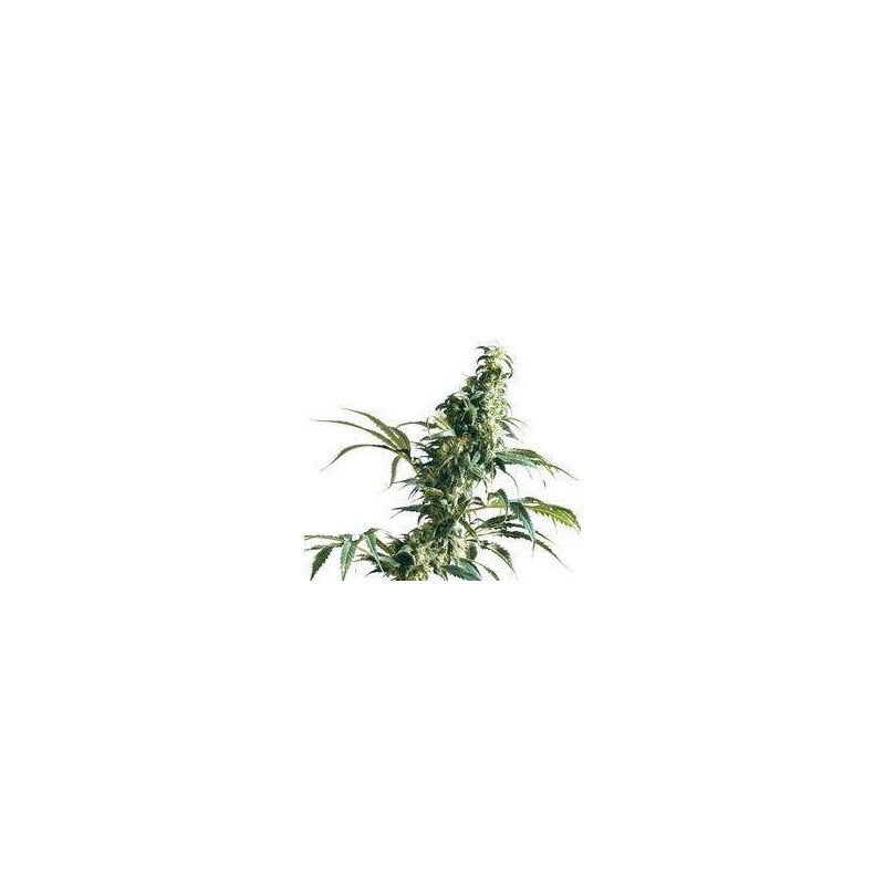 Mexican Sativa Feminizowane  (Sensi Seeds)
