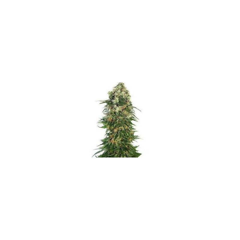 Shiva Skunk Automatic Feminized (Sensi Seeds)