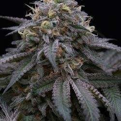 Sugar Breath Feminized  (Humboldt Seed)