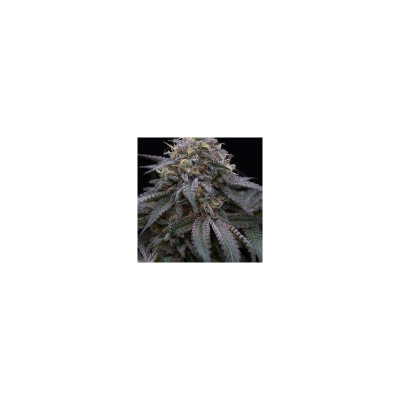 Sugar Breath Feminized  (Humboldt Seed)