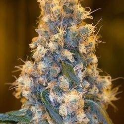 Blue Fire Feminized (Humboldt Seed)