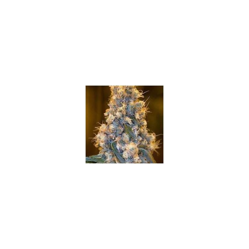 Blue Fire Feminizowane (Humboldt Seed)