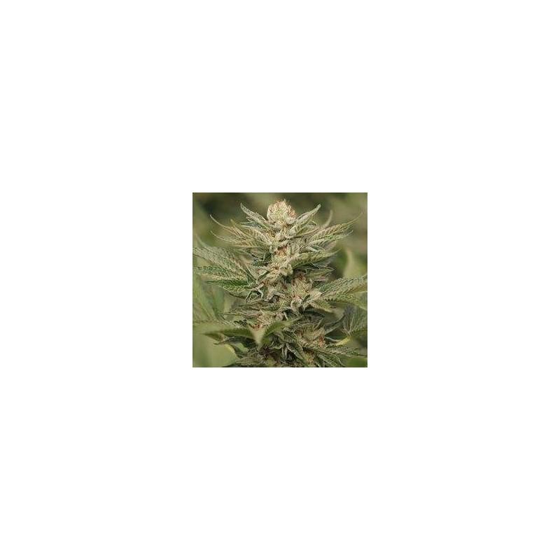 Sapphire Scout Feminizowane (Humboldt Seed)
