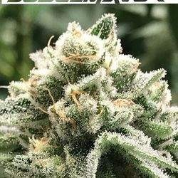 Sublimator Feminized (R-Kiem Seeds)