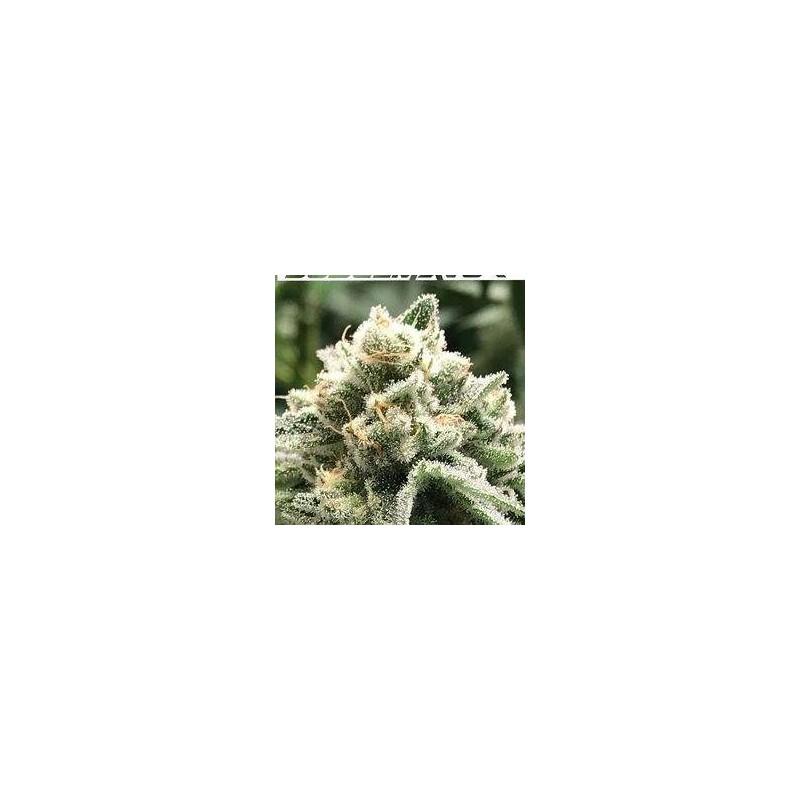 Sublimator Feminized (R-Kiem Seeds)