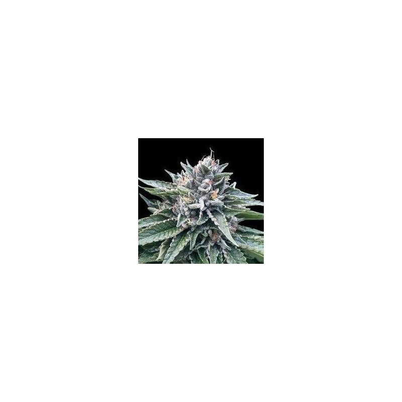 Sorbet 4 Feminized  (DNA Genetic)s