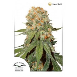 Orange Bud Feminized  (Dutch Passion)