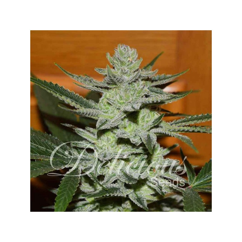 Unknown Kush Feminized (Delicious Seeds)