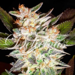Delicious Candy Auto Feminizowane (Delicious Seeds)
