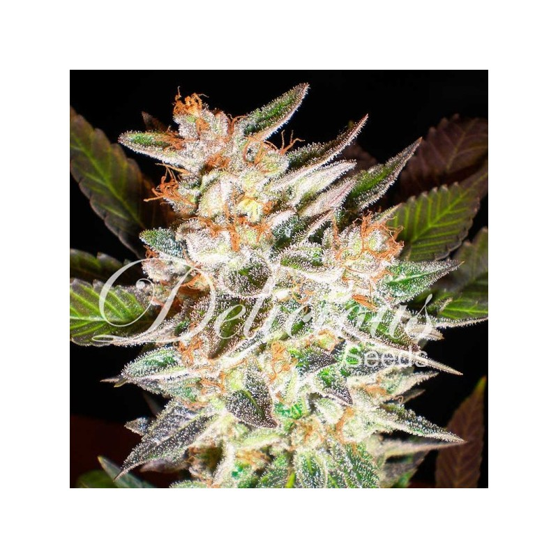 Delicious Candy Auto Feminized  (Delicious Seeds)