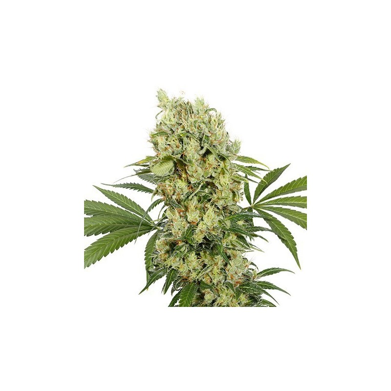 Medikit CBD Feminizowane (Buddha Seeds)