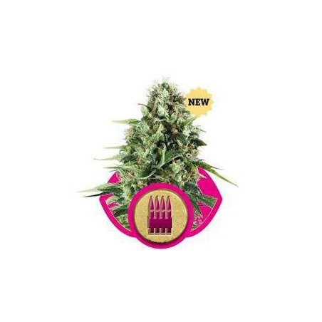 Royal AK 47 Feminizowane (Royal Queen Seeds)