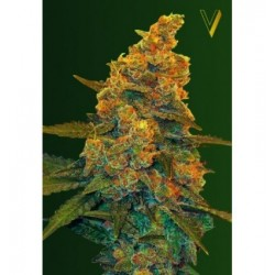 Auto Blow Dream Feminized (Victory Seeds)