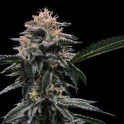 Banana Sorbet Feminized (DNA Genetics)