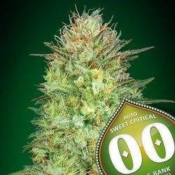 Auto Sweet Critical Feminizowane (00 Seeds Bank)