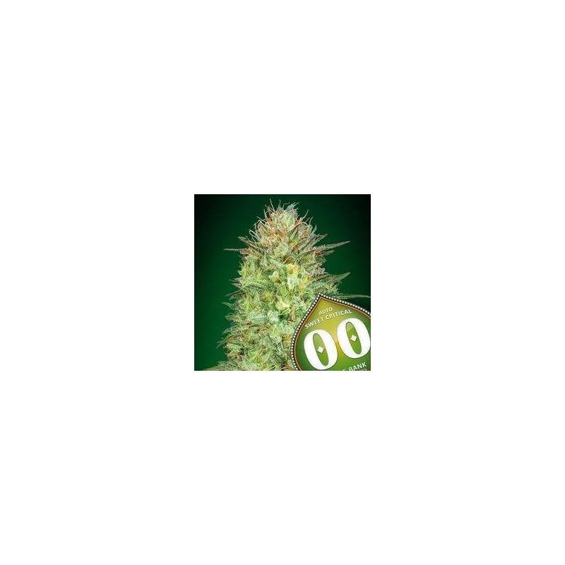 Auto Sweet Critical Feminized (00 Seeds Bank)