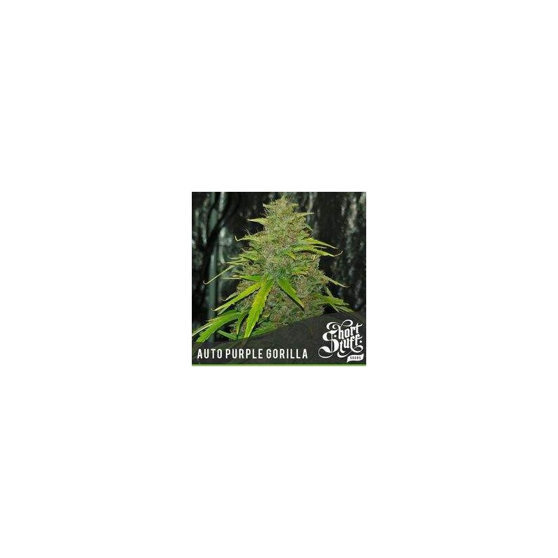Auto Purple Gorilla Feminozowane  (Short Stuff Seedbank)