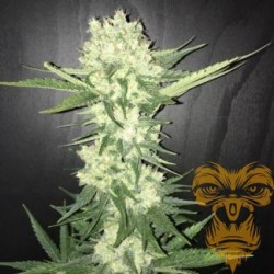 Kushty Feminized (Real Gorilla Seeds)