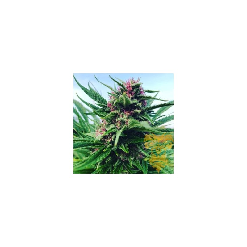 DFG Feminized (Real Gorilla Seeds)
