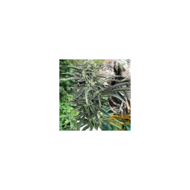 Fire99 Fast Version Feminized (Real Gorilla Seeds)