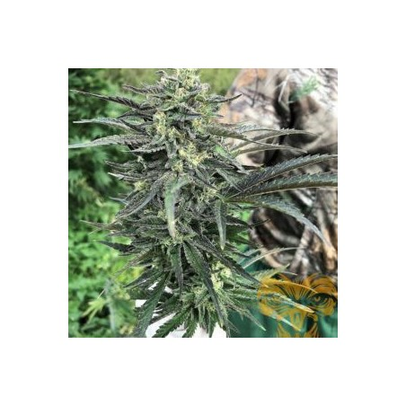 Fire99 Fast Version Feminizowane (Real Gorilla Seeds)