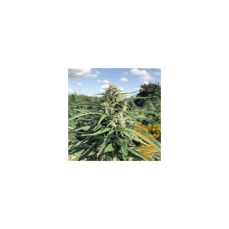 Green Gold Feminized (Real Gorilla Seeds)
