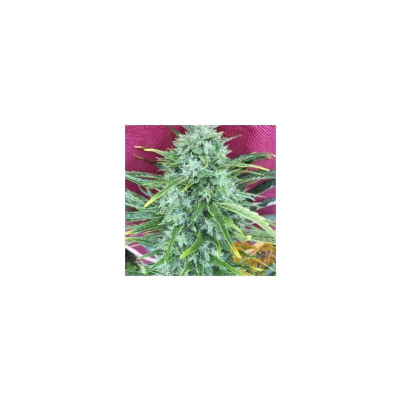 Mighty Gold Fast Version Feminized (Real Gorilla Seeds)