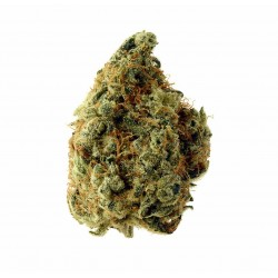 Chocolope Russian Gnom Feminized  (Gnomes Seeds)