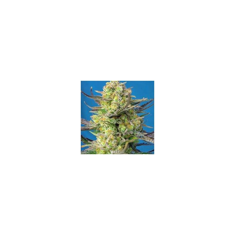 Sweet Cheese XL Auto Feminized (Sweet Seeds)
