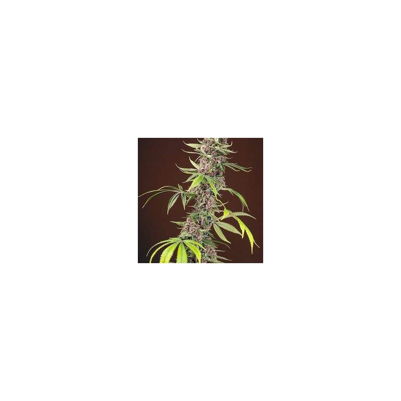 Red Mandarine F1 Fast Version Feminized (Sweet Seeds)