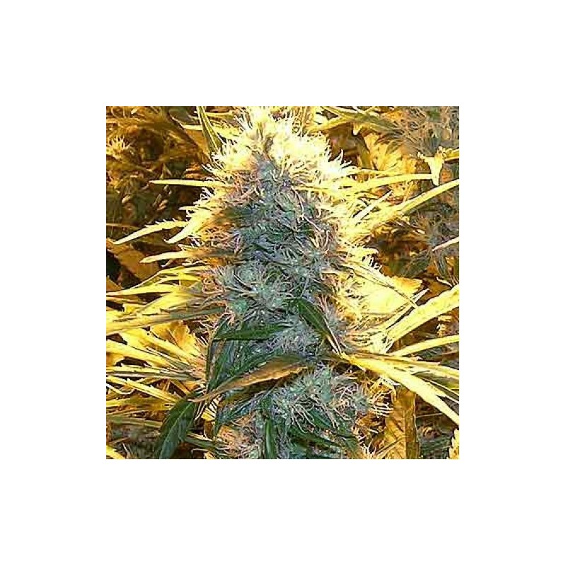 Lemon Cream Kush Feminizowane (Spliff Seeds)