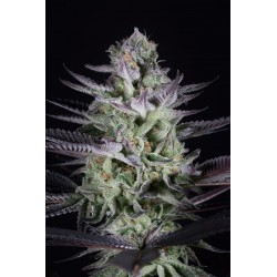 Blueberry Cookies Feminized (Dinafem)