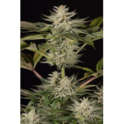 Ocean Grown Cookies Feminized (Dinafem)