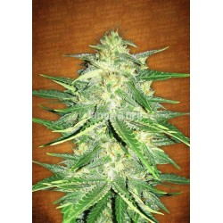 Lemon AK  Feminized (Fastbuds)