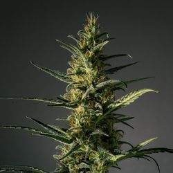 Candida (CD-1) Feminized (Medical...