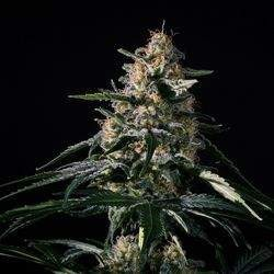 Nightingale (NN-1) Feminized (Medical...