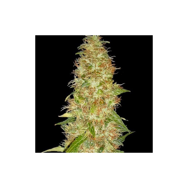 Moon Walker Kush Feminizowane (Spliff Seeds)