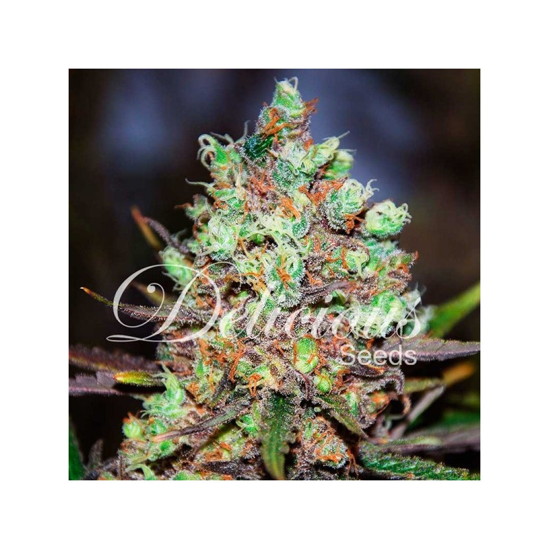 Cotton Candy Kush Feminized Delicious Seeds