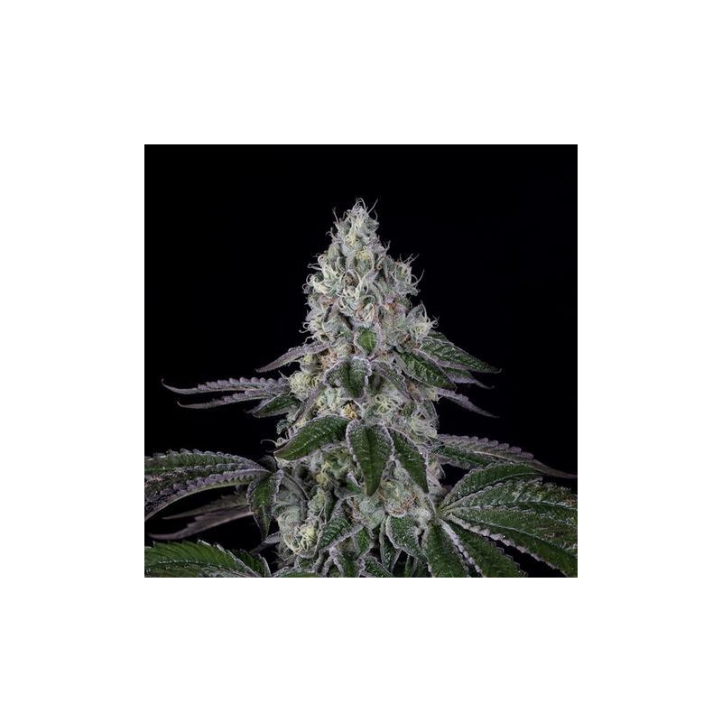 Wedding Cake Dinafem Feminized