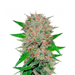 Deep Mandarin CBD  Feminized (Delicious...