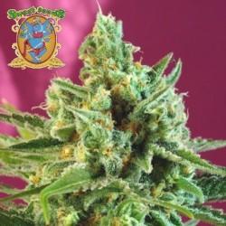 S.A.D. Sweet Afgani Delicious CBD Feminizowane (Sweet Seeds)