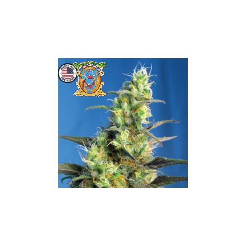 Ice Cool CBD Feminizowane (Sweet Seeds)