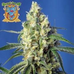 Green Poison CBD Feminized (Sweet Seeds)