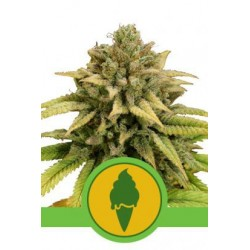 Green Gelato Auto Feminized (Royal Queen...
