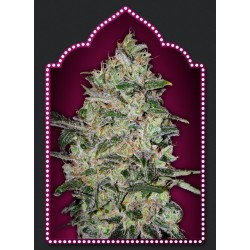 Bubble Gum Fast Version Feminized (00...