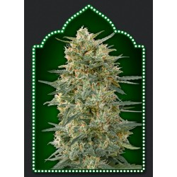Gorilla Fast Version Feminizowane (00 Seeds Bank)